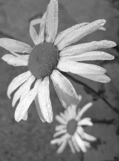 Daisy2bw
